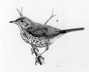 Song Thrush pencil drawing by Dave. F