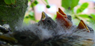 fledglings in nest at Glanrhyd Hospital