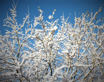 snow covered branches from Caswell Clinic